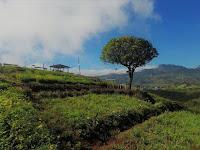 Menikmati Sejuknya Udara Pegunungan di Perkebunan Teh Malino