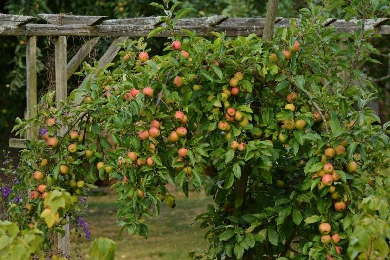 Guia de jardin aprende a cuidar tu jard n for Arboles frutales para jardin