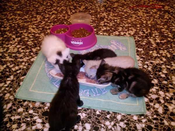 gatitos-bebe-comiendo-agua-fresca