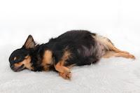 La gestation de la chienne
