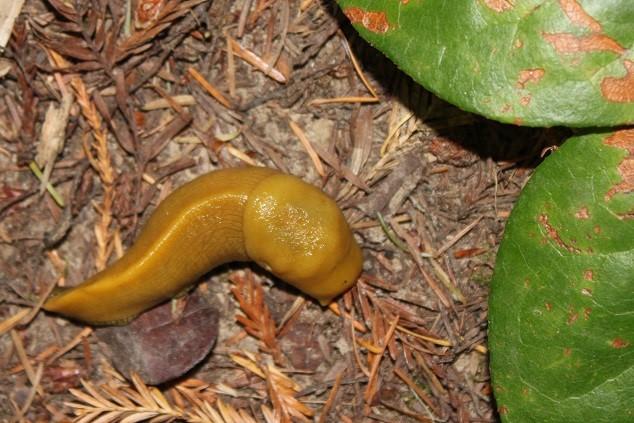 Banana slug penis