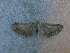 Upper Thames Moths: June 2015
