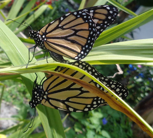 Mating monarch butterflies