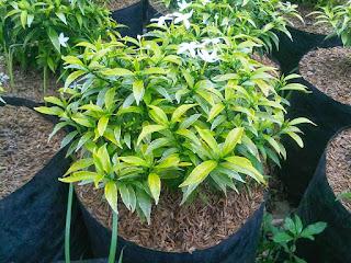 http://www.jasa-tukangtaman.com/2017/02/jual-pohon-rembosa-mini-tanaman-rembosa.html