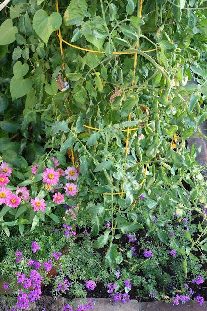 zinnias, tomatoes, verbena, front garden