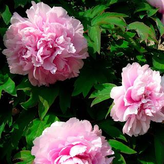Божур / Peonia цвете
