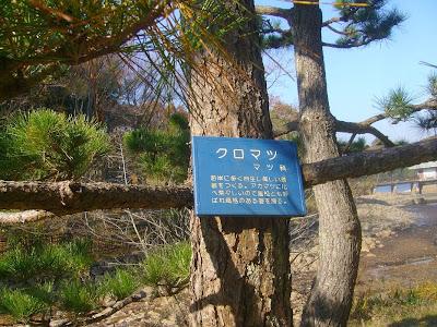 大阪府枚方市・山田池公園のクロマツ