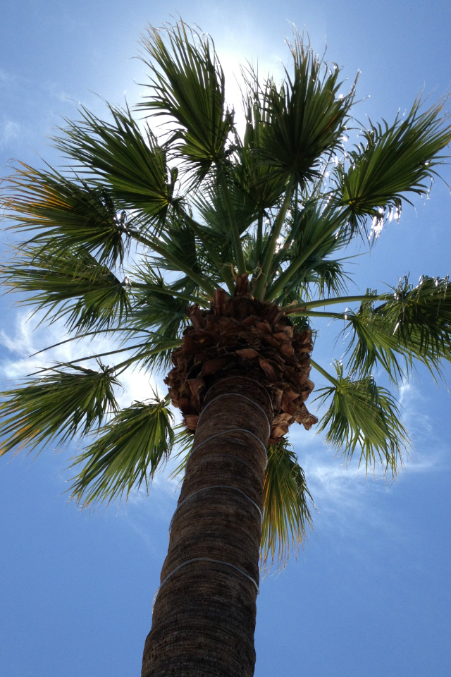 Buzz's blog: iPhone Wallpaper: Palm Tree