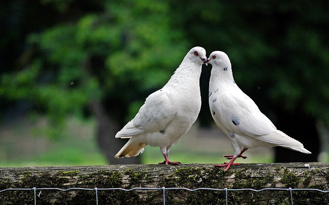 amazing facts about pigeons,pigeon,pigeon information in urdu,facts in hindi,pigeon info in hindi,pigeons,pigeon information in hindi,amazing facts in hindi,about pigeon in hindi,amazing facts,pigeon facts,facts,facts about pigeon,interesting facts about pigeon,amarnath pigeon story in hindi