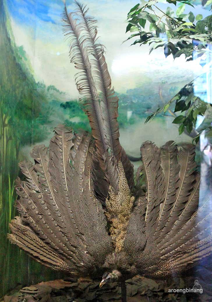 kuau raja museum zoologi bogor