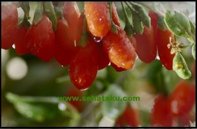 buah goji