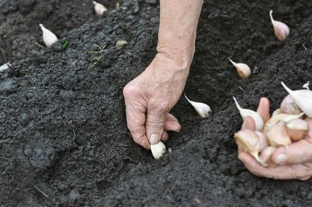 Cách trồng tỏi & kỹ thuật trồng củ tỏi