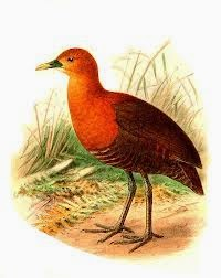 Red necked Crake