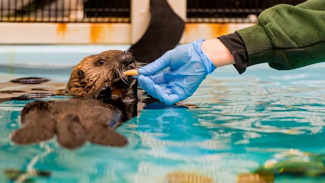 Sea Otter Conservation Tour no Monterey Bay Aquarium na Califórnia