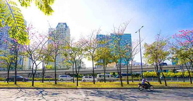 Có một Sài Gòn mộng mơ mùa hoa kèn hồng nở rộ - Ảnh 2
