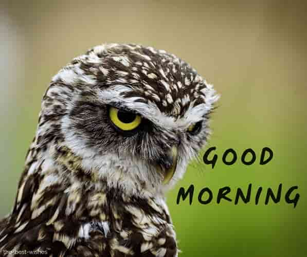 good morning wishes with angry owl