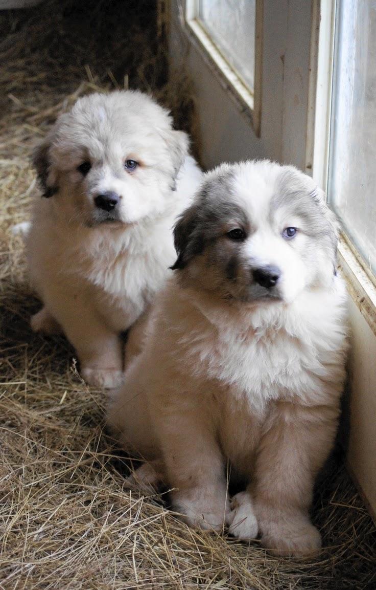 See more Great Pyrenees Puppy at Boondockers Farm http://cutepuppyanddog.blogspot.com/