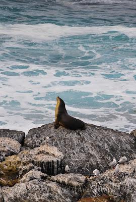 袋鼠島Flinders Chase National Park, 紐西蘭海狗 , New Zealand Fur Seal