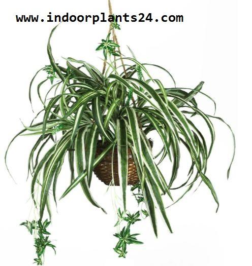 Chlorophytum Comosum Vittatum Liliaceae  SPIDER PLANT image