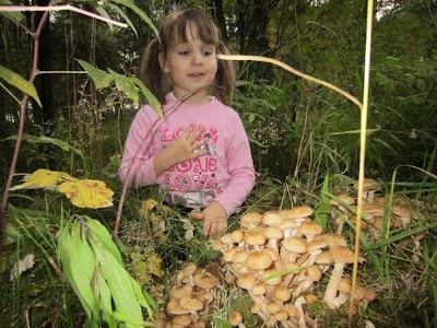 как вырастить опят на даче, выращивание опят на подоконнике,выращивание грибов,грибы н даче