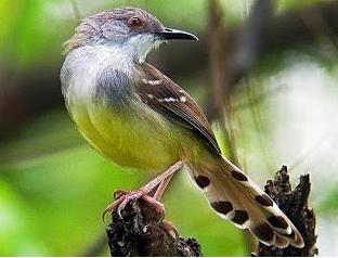 Burung Ciblek Biasa/Kebun/Kampung/Kuning