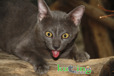 Kucing Raas, Kucing Asli Indonesia