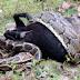 Flagrante: Cobra tenta engolir cabra inteira e acaba engasgando, assista o vídeo