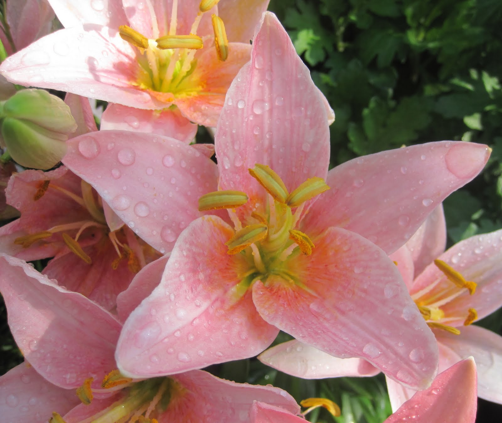 Types Of Lily Names: Franklin County (PA) Gardeners: Liliums--The True Lilies