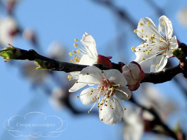 абрикос, как цветет абрикос, цветущий сад, рустик, хюгге