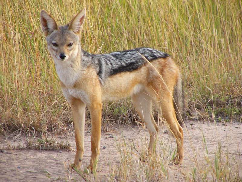 all about animal wildlife jackal information and photos