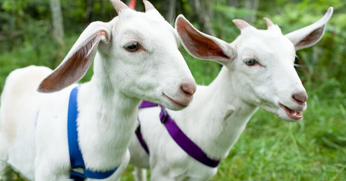 26+ Hewan ternak kambing terbaru
