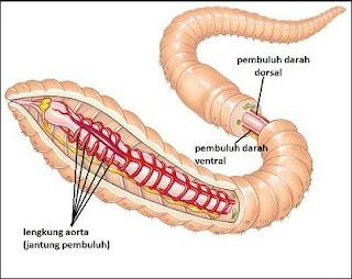 Sistem Peredaran Darah atau Transportasi Pada Hewan Invertebrata Seperti Protozoa, Serangga dan Cacing Tanah