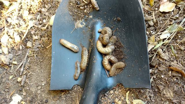 Figeater Beetle Larvae