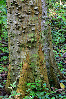 spiny tree in Puriscal