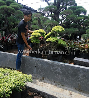 bonsai legistrum murah
