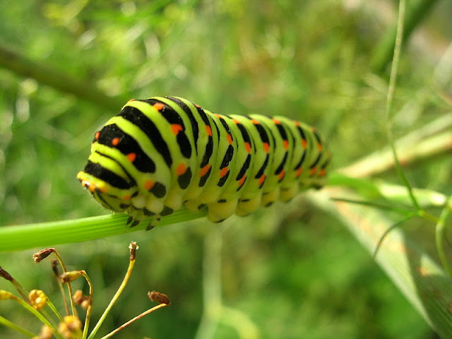 fat green and blacked stripped caterpillar on a green stem