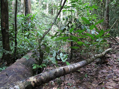 Rotting trunks of fallen trees are common feature of the primary rainforest
