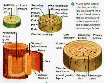 biologi: organ tumbuhan