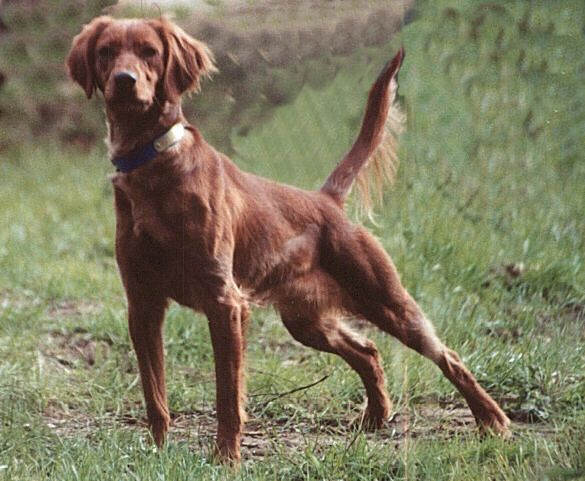 Red Setter National Championship