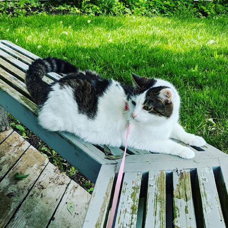 image of Olivia the White Farm Cat sitting outside on a bench, wearing a pink harness with attached pink leash