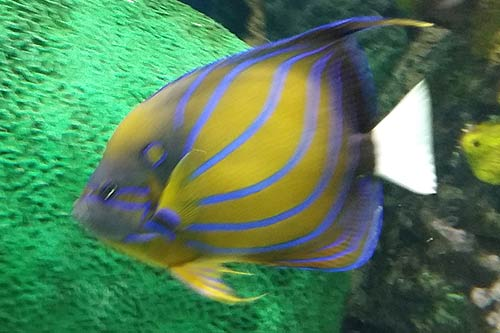 Ripley's Aquarium (Blue Ring Angelfish)