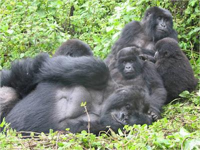 distribuidor mayorista b0e9b 03bde La Chachipedia: Los gorilas