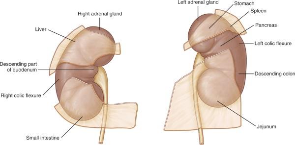 Kidney Anatomy Now Illustrations Added