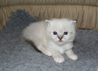 GCCF Registered Birman Cat
