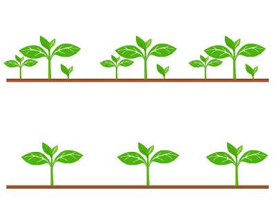 Como fazer o Desbaste das Plantas