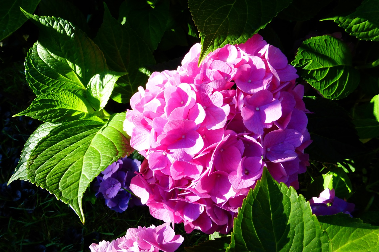 hydrangea, pink hydrangea, summer hydrangea