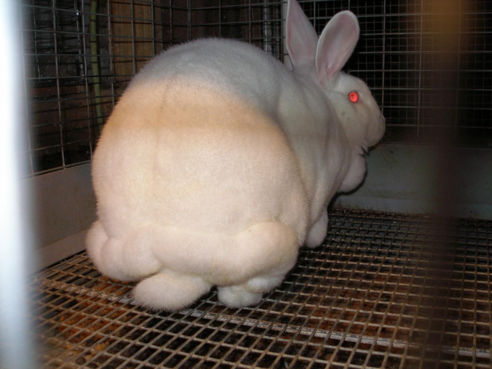 Rabbit Fat 56