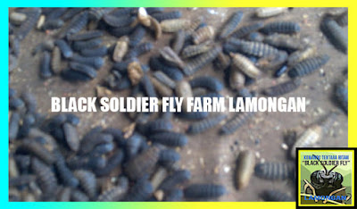 black soldier fly farm lamongan, lalat tentara hitam dot win