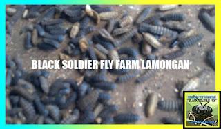 pupa maggot BSF, Maggot BSF, Lalat tentara hitam