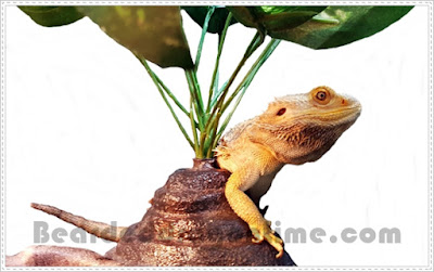 bearded dragons flare their beard